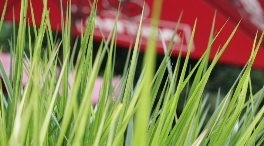 Sonnenschirm der Marke ASTRA hinter Gräsern sichtbar